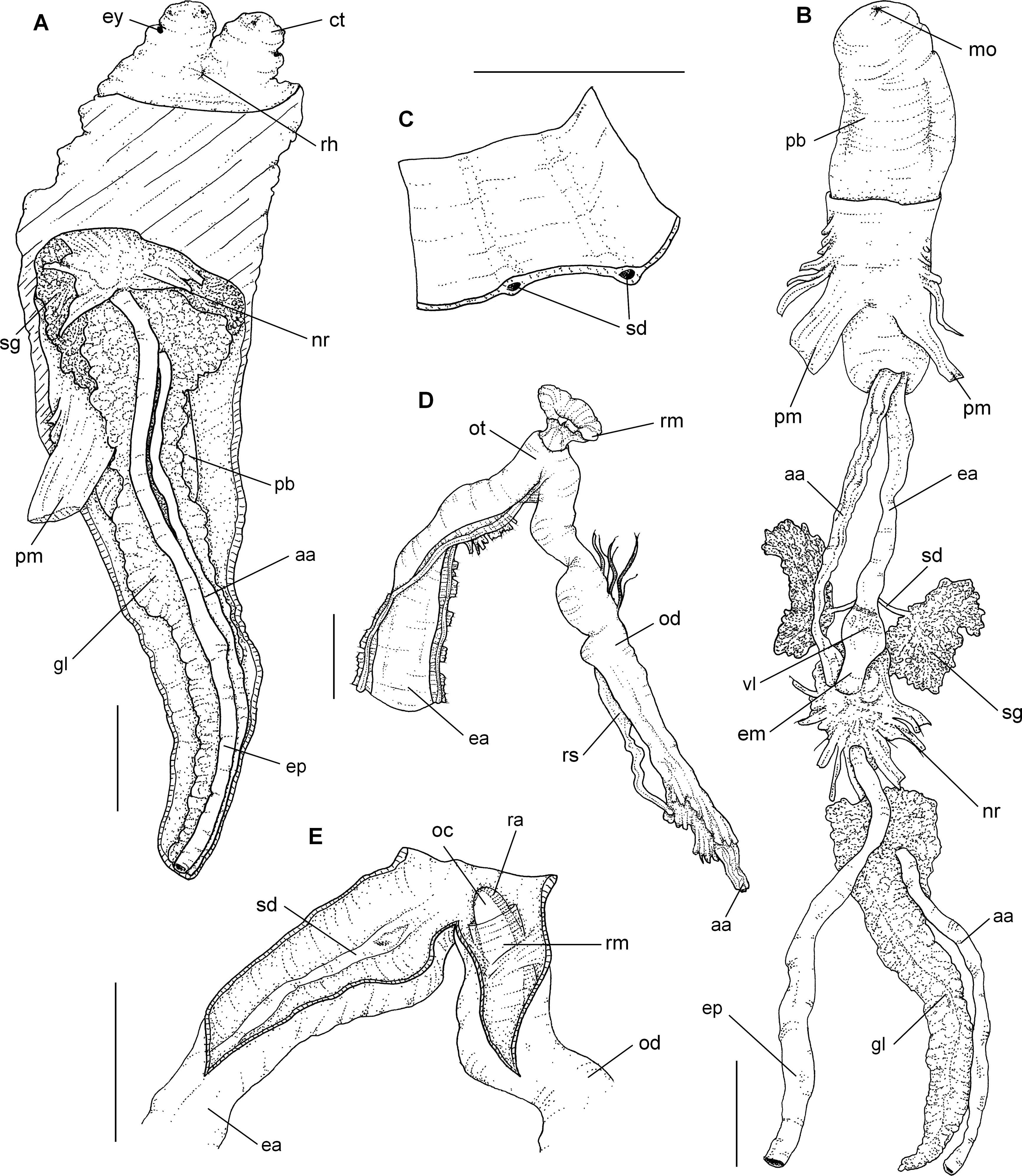 Comparative anatomy of the fasciolariids Pustulatirus ogum and ...